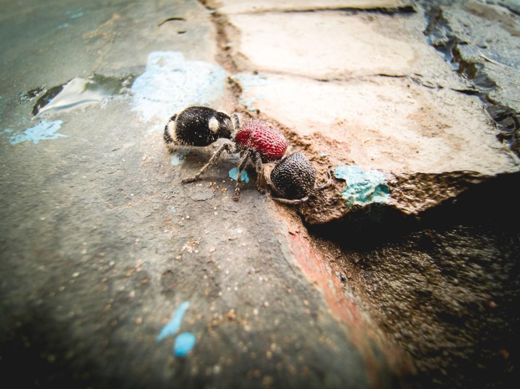 Velvet ant in Botswana