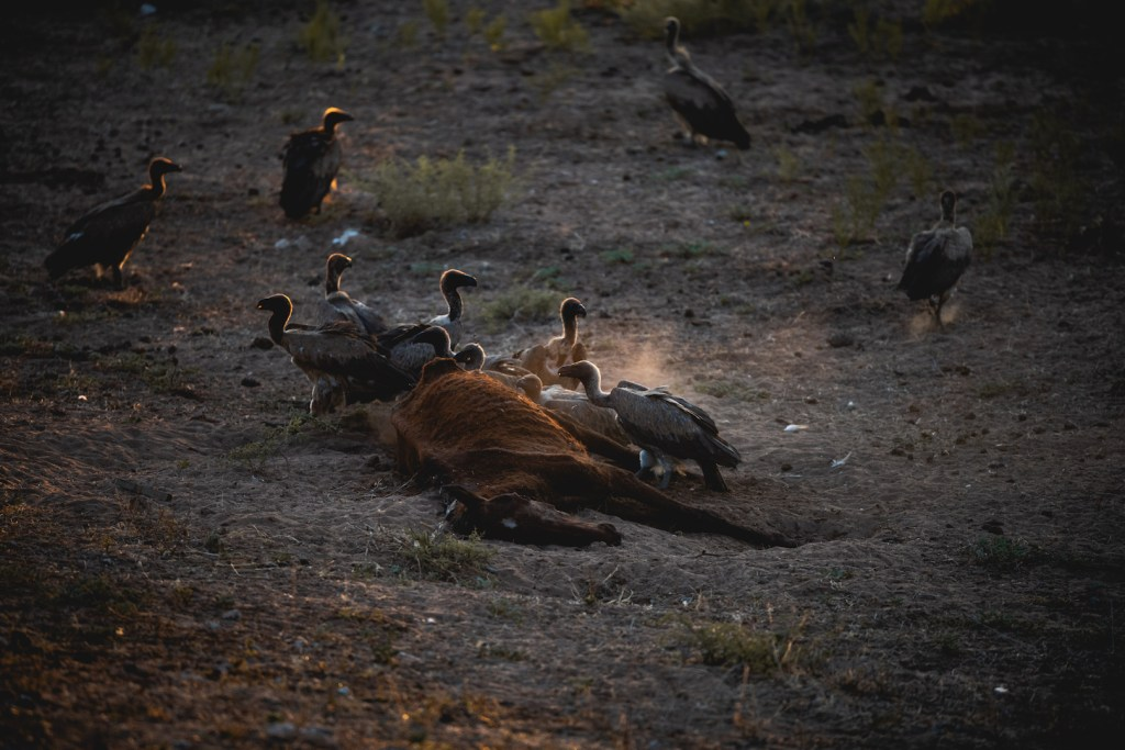 Vultures eating a dead horse