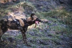 african wild dog with impala leg in Botswana