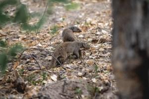 mongoose in botswana