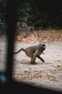 surprised baboon in Okavango Delta