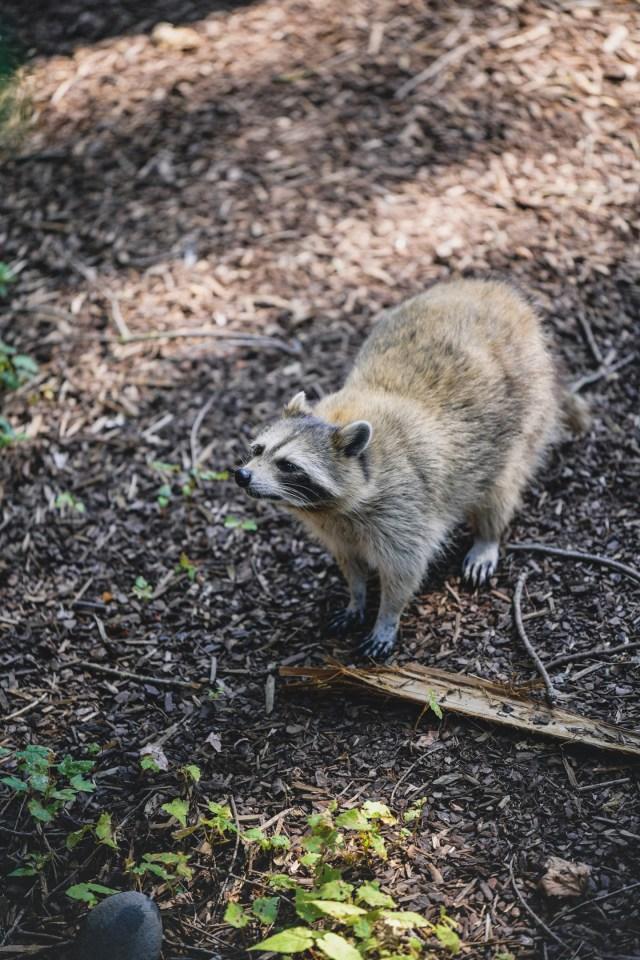 raccoon in Pairi Daiza