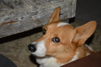 Photograph of Kaiden, a Corgi.