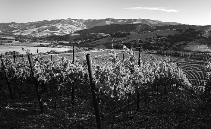 Dierberg Pinot Noir vines at Drum Canyon