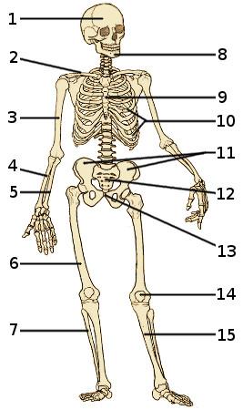 Free Anatomy Quiz  The Skeleton Quiz 1