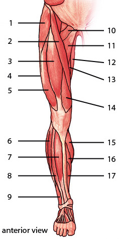 Free Anatomy Quiz  Muscles of the Lower Limb, Anterior