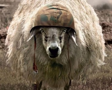 Sheep with Military Helmet