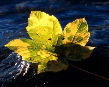 Green Maple Leaf On The Water