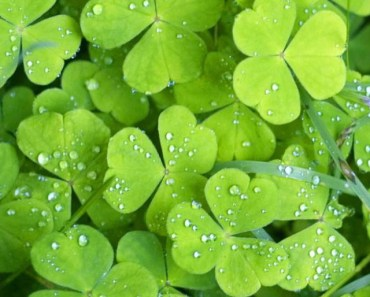 Green Shamrocks with Dew Drops