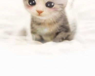 Cute Scottish Fold