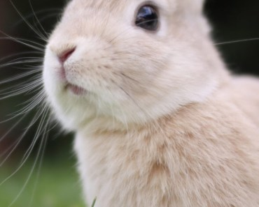 Small Gray Rabbit In The Grass