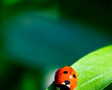 Ladybug On The Green Leaf