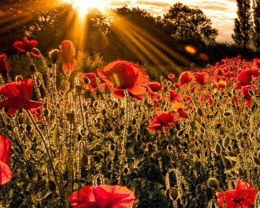 Red Flowers At Sunset