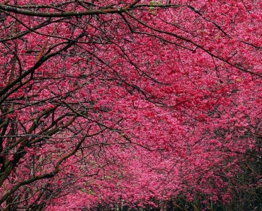 Rose Red Trees