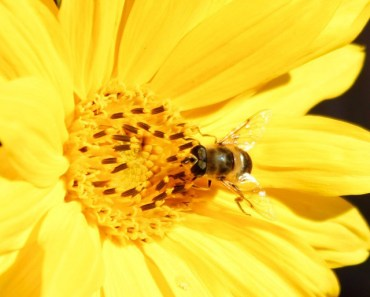 Bee and Yellow Flower