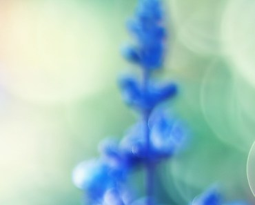 Blue Flowers Bokeh