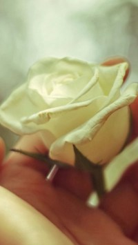 White Rose In Hand