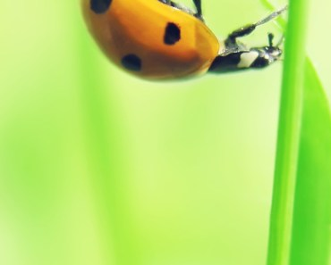 Yellow Ladybug On The Green Leaf