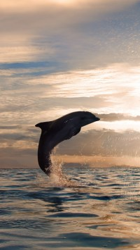 Dolphin Silhouette