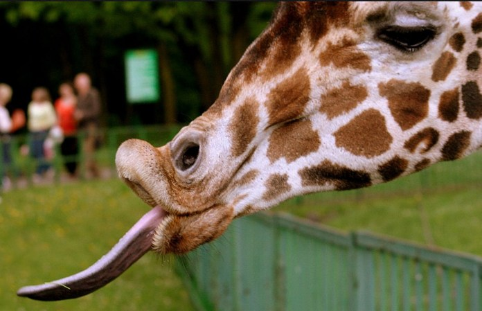 Reporter Gets Face Full Of Giraffe Slobber While Reporting From Florida State Fair