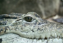 Florida Firefighters Think They Are Helping Unconscious Person, Turns Out To Be 11-Foot Gator
