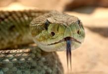 Man Bit By Rattlesnake At Colorado Dog Park
