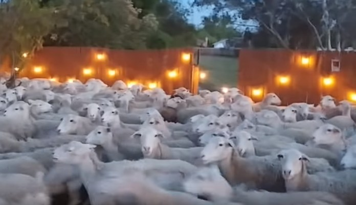 A Flock Of 200 Sheep Wanders Into This Guy's Back Yard