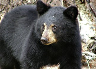 Black Bear Gets Himself Stuck In Car For Seven Hours