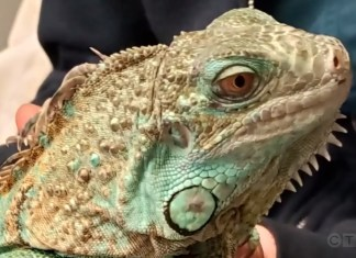 Iguana In Protective Custody After Owner Throws It At Restaurant Manager