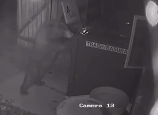 """Bear Named """"Cheeseburger"""" Steals Dumpster From Colorado Weed Shop"""