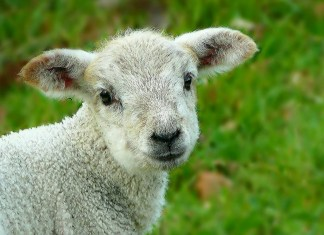 Ohio Champion Lamb Under Investigation For Performance-Enhancing Drugs