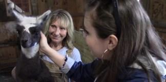 New York Farm Offers Calming Walks With Llamas