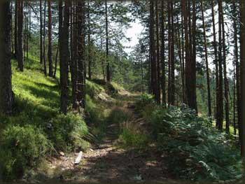 Početak fenomenalnog, sasvim zabačenog putića ka Šarganu. Podloga - borove iglice posute šišarkama uz prateći miris i šuštanje vetra u granama...