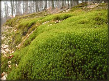 Mahovina u šumama Šomrde