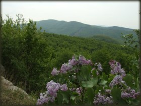 Put oko Samanjca u proleće je pun Jorgovana