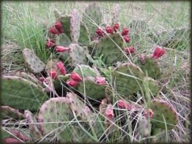 Kaktusi u cvetu