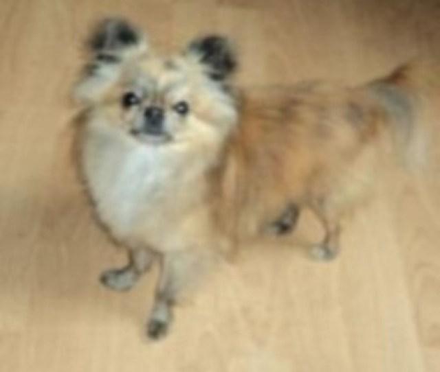 Chihuahua Breeder