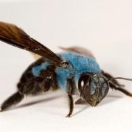 notallbees_are_yellow_blue_carpenter_bee