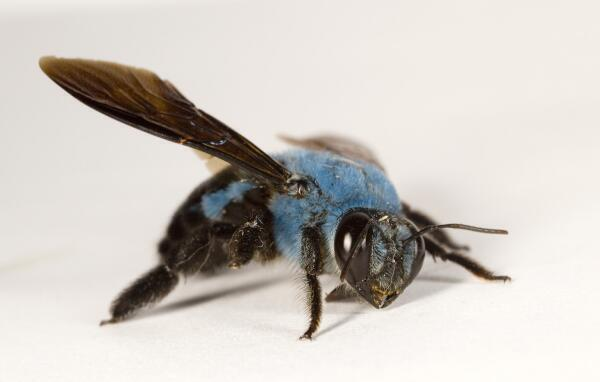 notallbees_are_yellow_blue_carpenter_bee money perception