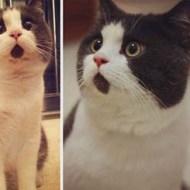 14-11-midterm-Banye-british-shorthair-meow-surprised