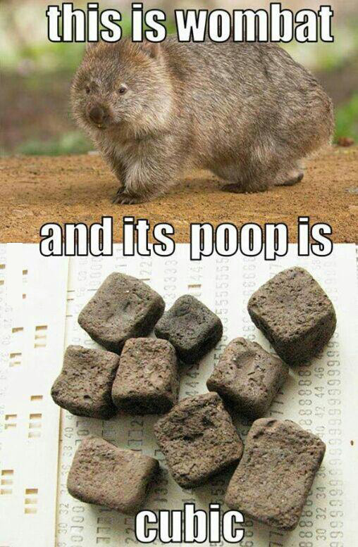 they have horrible eyesight and they place their cubic poop outside their burrow so that when they return from eating, they recognize their home.