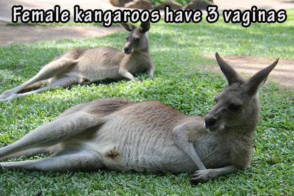 16-04-female-kangaroos-have-3-vaginas