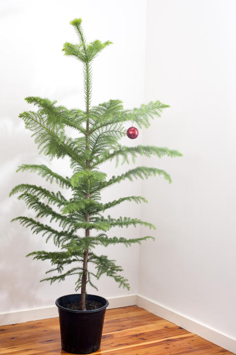 Free Stock Photo 8631 Christmas Tree With A Single Red