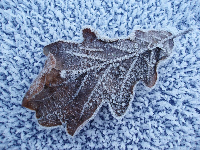 a frosty winter scene, a brown oak leaf covered in ice crystals