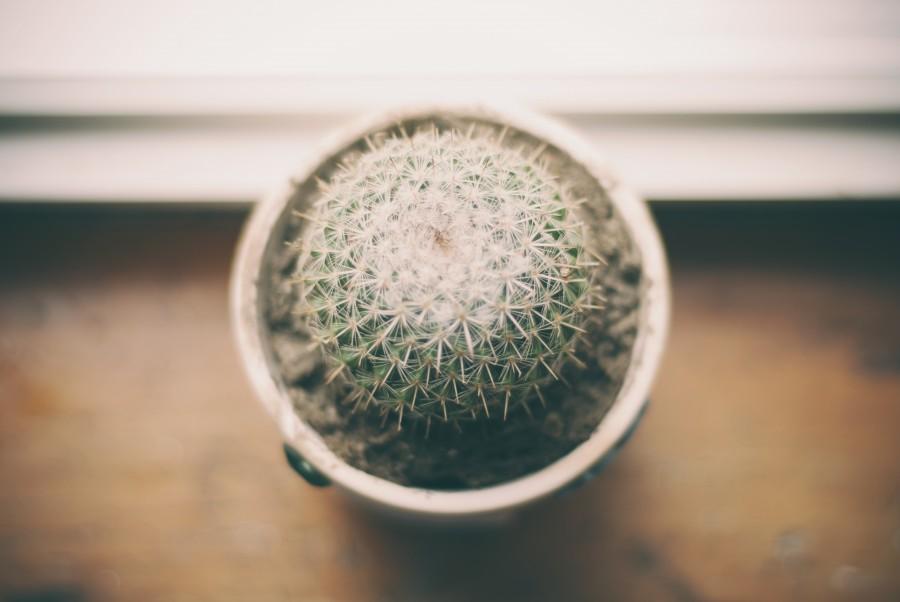 cactus, maceta, planta, decoracion, interior, espina, espinas, primer plano, fuera de foco,
