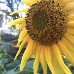 freemans organic farm sunflower in bloom