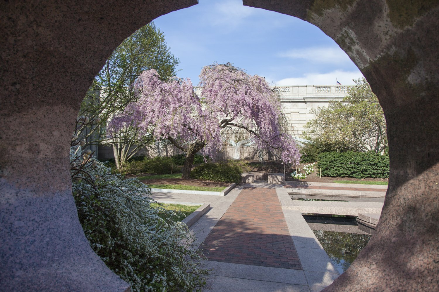 A weeping cherry tree in full bloom in the Sackler's Moongate garden.