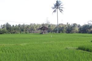 Rice fields with pavilion