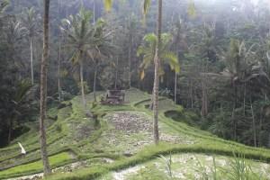 Rice fields in terraces toward jungle
