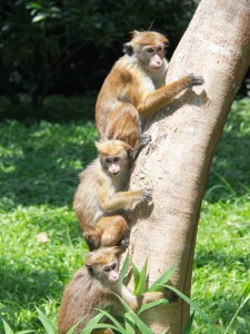 Photo of three monkeys in Kandy Botanic Gardens